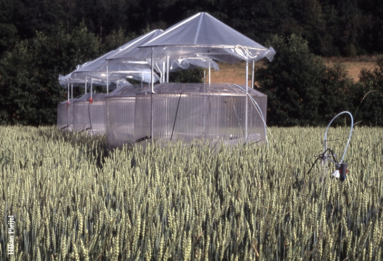 Open-top chambers in wheat filed H Pleijel