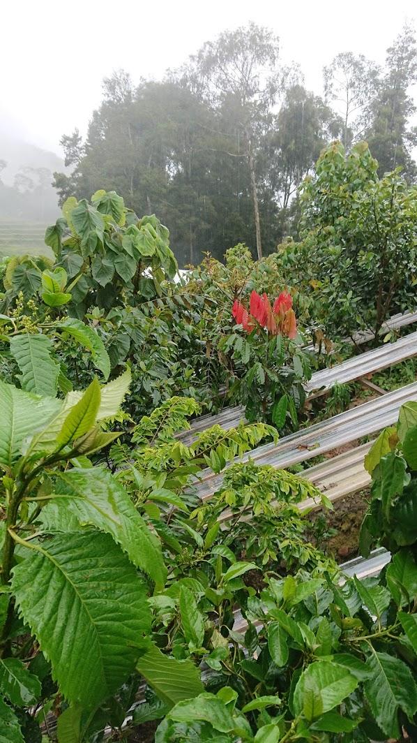 Rainout shelters in Sigira